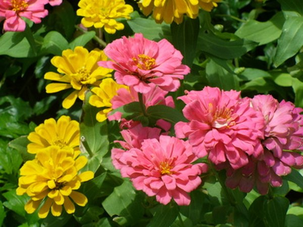 Plant zinnia seeds in May.