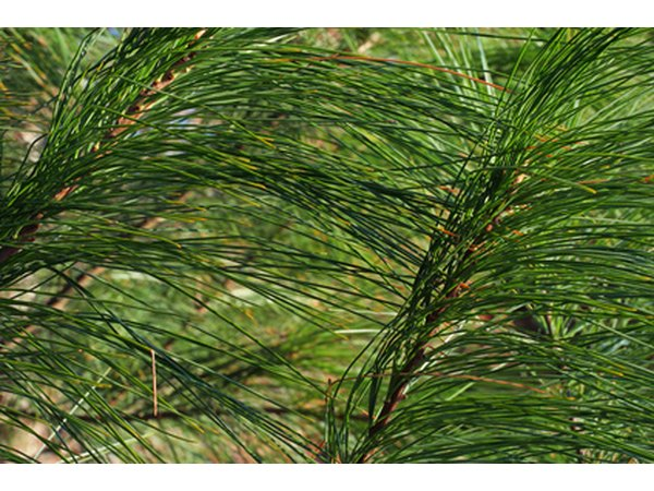 Pine trees have needle-shaped leaves and belong to the Pinophyta family of trees.
