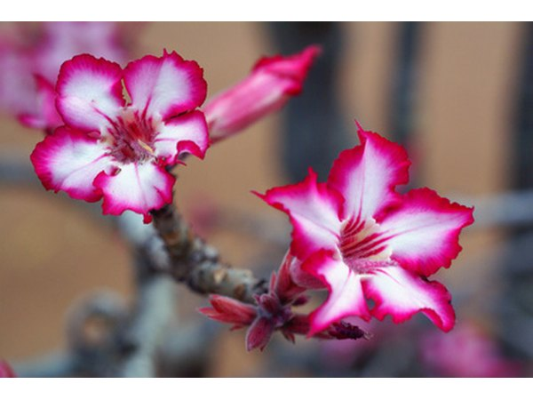 Impala lilies are vibrant blooms.