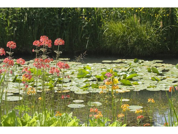 Shallow ponds are excellent habitats for water lilies.