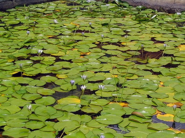 Invasive American Water Lily can form a monoculture in many introduced habitats, choking out all other plant life.