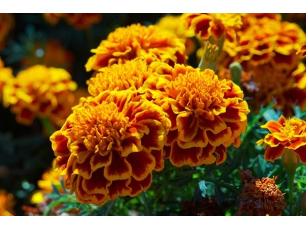 Marigold plants are said to repel insects.