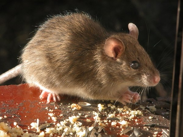 The field mouse usually feeds at night and hides in its burrow during the day.