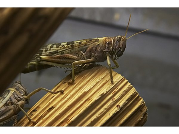 Clear-winged grasshoppers eat cereal crops.