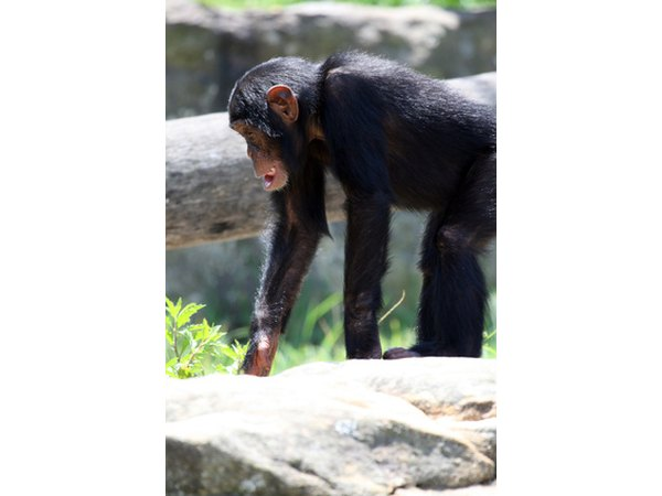 Chimpanzees are stronger than we are, and they are quick to learn this.
