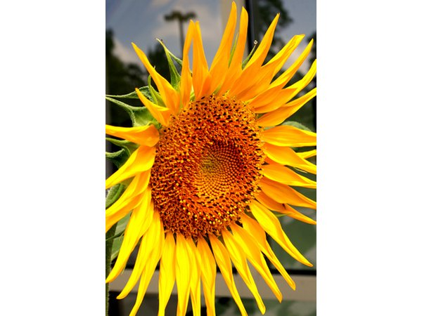 Sunflowers add vibrant color to the landscape.