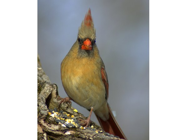 The female cardinal does not have the famous all-over red coloring.