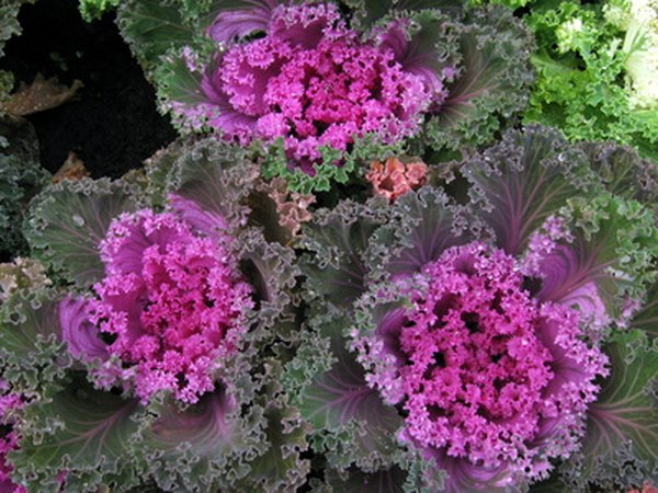 Cruciferous vegetables such as kale are good sources of IC3
