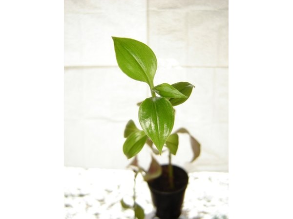 fotolia_2371660_XS Best Housewarming Plant on best sympathy plant, best food plant, best good luck plant, best type of gift to give as a plant, best coffee plant, best roses plant,