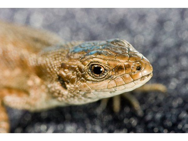 Western fence lizards are known to eat other, smaller lizards, even ones of the same species.