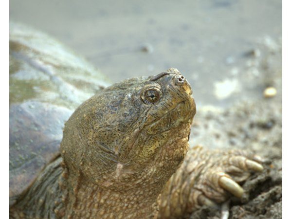 The female snapping turtle leaves the water in order to make a nest and lay her eggs.
