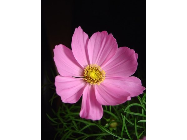 Showy cosmos spruce up the landscape.