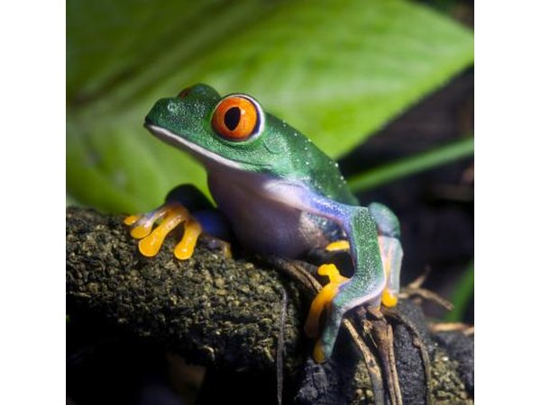 A red-eyed tree frog sits on a log.