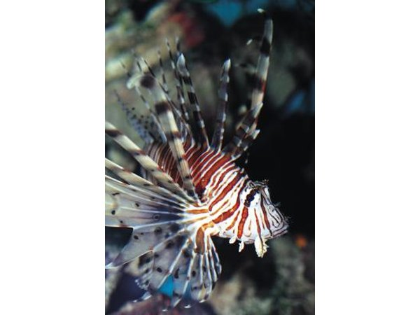 The lionfish are poisonous fish found in the Indian Ocean.