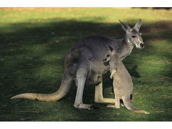 kangeroos are another type of marsupial