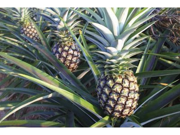 pineapples growing on trees