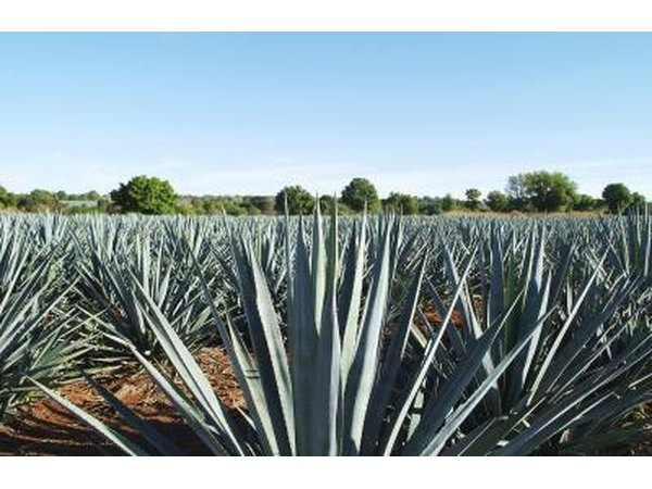 A blue agave plantation in Mexico.