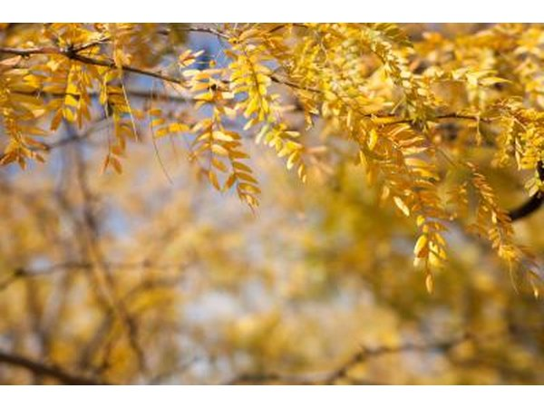 A close-up of the yellow foliage of a honey locust tree.