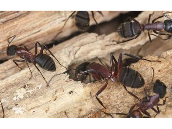 Carpenter ants live both outdoors and indoors