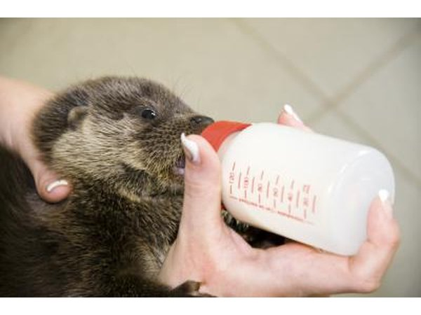 Zoo worker feeding milk to orphaned otter