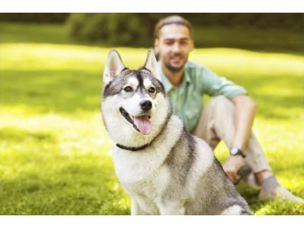 Husky dog with man sitting behind him