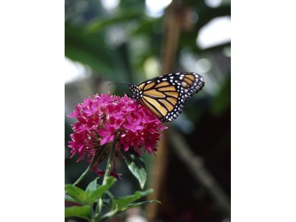 Monarchs sip nector from any flowering plant.