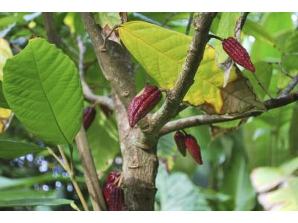 Cocoa trees can grow to 26 feet.