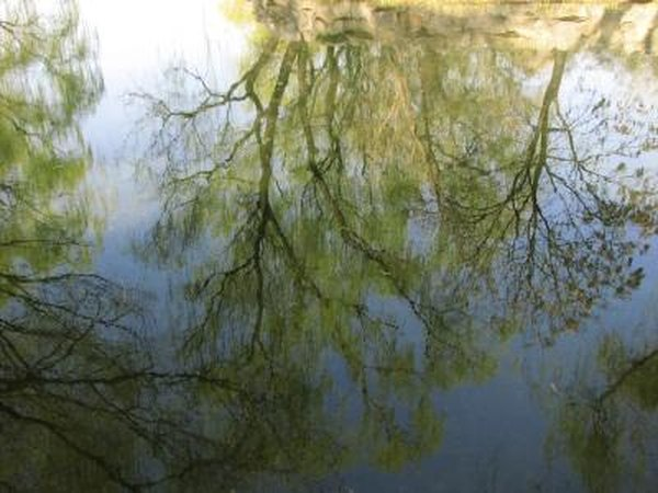 A reflection of corkscrew willow trees in the water.