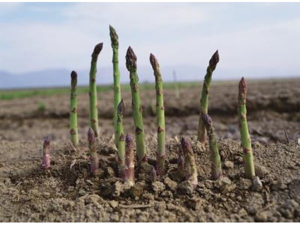 Asparagus beginning to sprout in garden