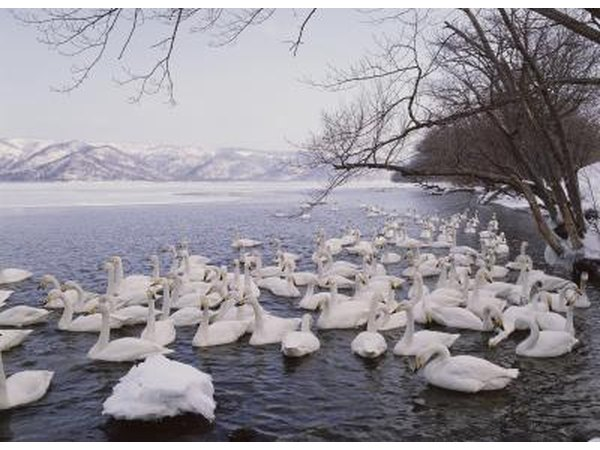 Swans are among the birds that migrate to the tundra to lay eggs in the spring.