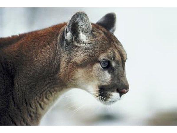 catskill cougars