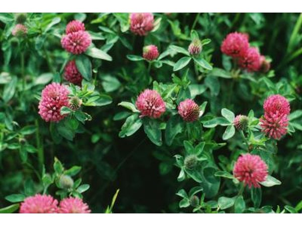 Red clover is a great way to supplement phytoestrogens safely.