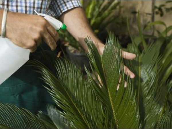 Demonstrated on a fern, mist your Lemon Lime Dracaena.