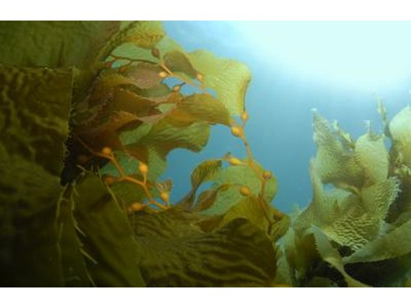 Kelp is used to promote healthy skin.