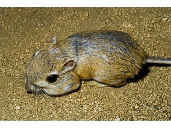 the kangaroo rat can survive without water