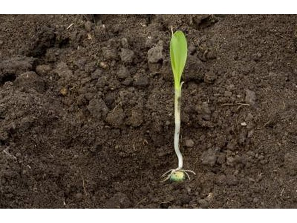 A corn seedling.