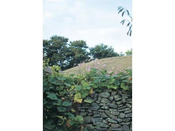 Plant creeping vines along your stone wall.