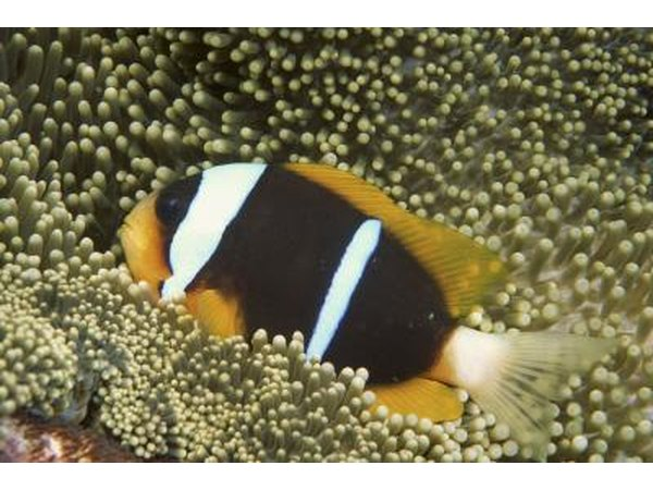 Chagos anemonefish are a form of clownfish unique to the Indian Ocean.