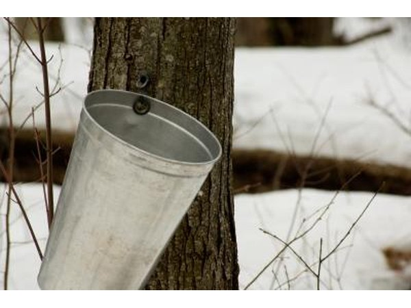 Plan a trip to the northeast when farmers are sapping the trees and making maple sugar.