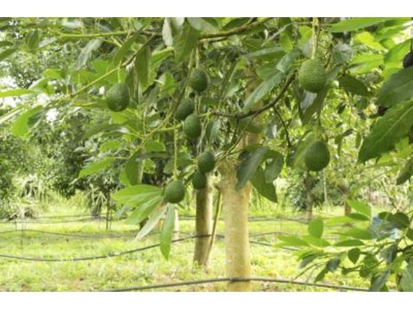 Avacado tree