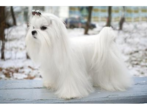 long haired maltese dog