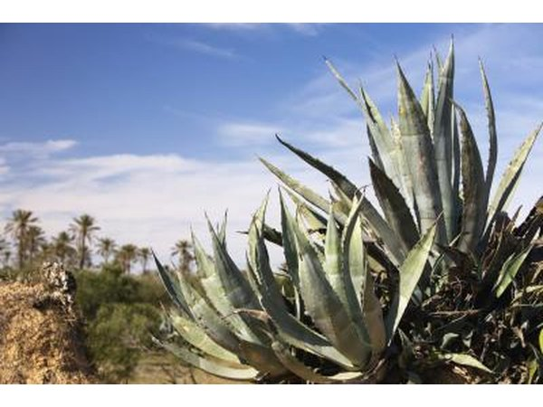 Agave plants growing in Tunisia.