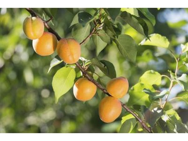Ripe apricots growing on the branch of a tree.