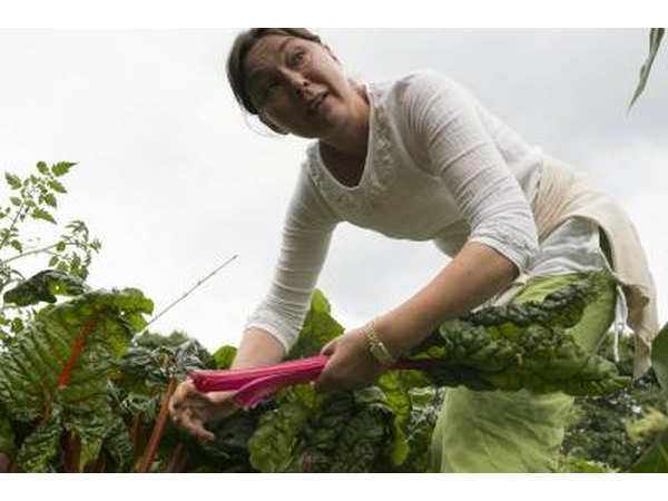 Woman harvests rhubarb