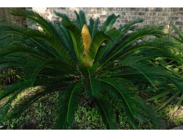 Sago Palm in shade