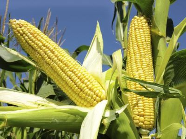 The mature corn plant develops ears.