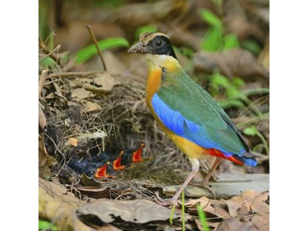 A Blue-winged Pitta feeds hungry chicks in a nest on the ground.