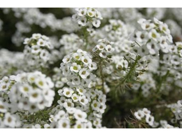 White alyssum flowers accent a pebble garden wonderfully.