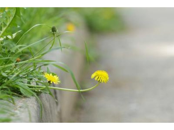 A close-up of a dandelion growing over the edge of a curb.