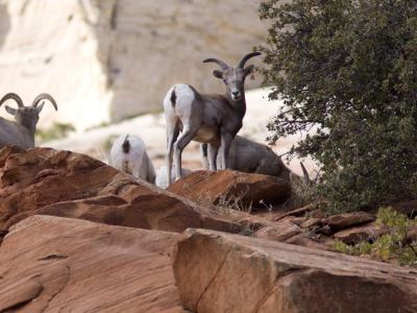 Bighorn sheep benefit from cacti.